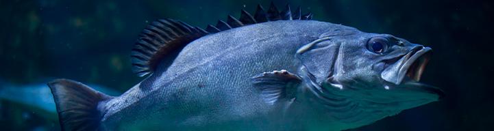 El pescado cherne